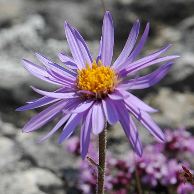 Détail de la fleur Aster des Causses