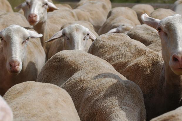 Mouton Lozère