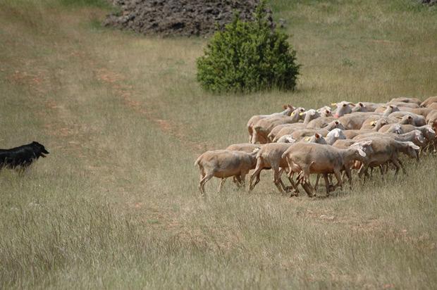Chien et moutons