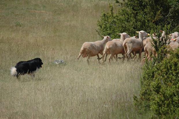 Moutons sur le Causse