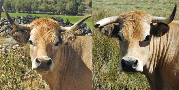 Cornes vaches Aubrac