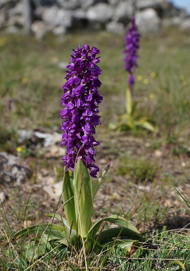orchidee sauvage tarn