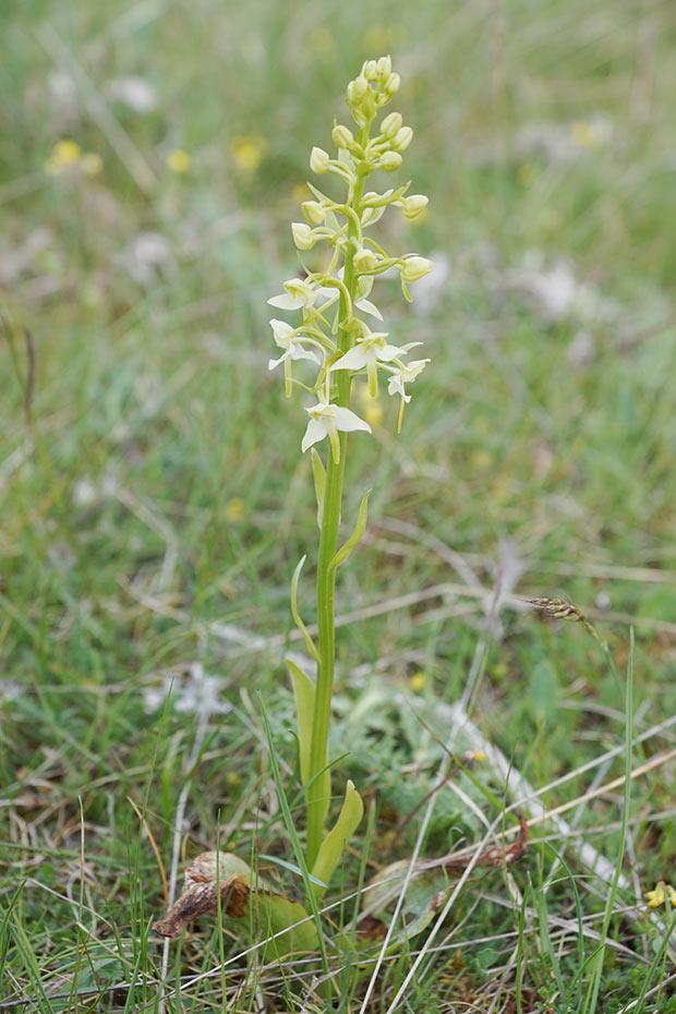 Orchidée verte
